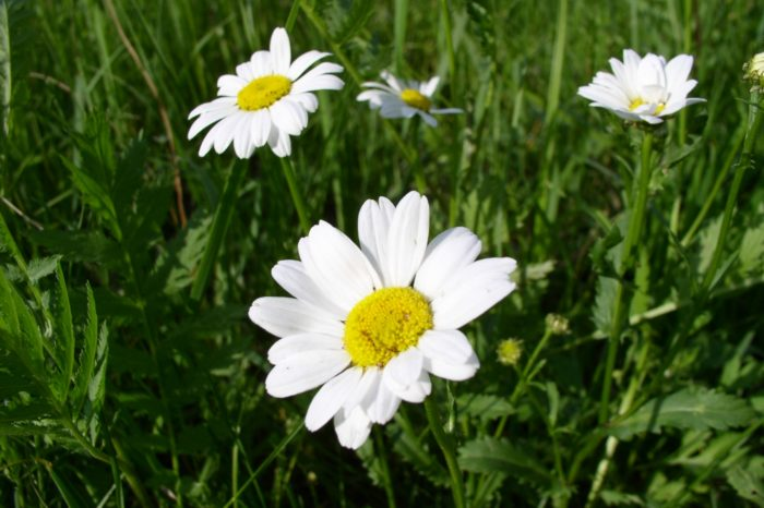 Common chamomile – a herbal piece of work